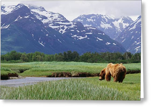 Recently Sold -  - Grazing Snow Greeting Cards - Grizzly Bear Ursus Arctos Horribilis Greeting Card by Panoramic Images