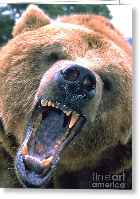 American Brown Bear Greeting Cards - Grizzly Bear Ursus Arctos Greeting Card by Mark Newman