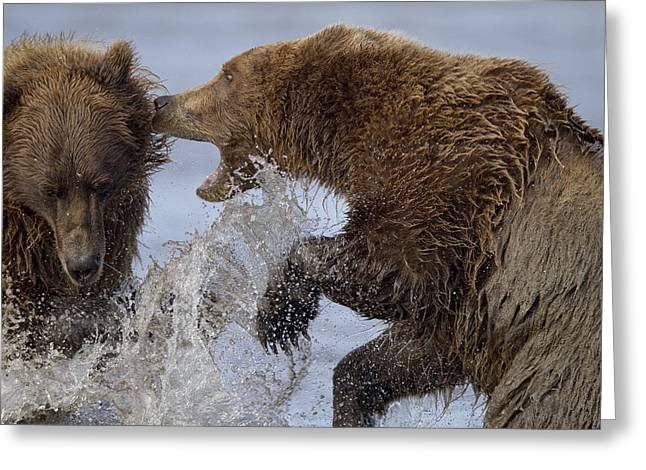 Us Open Photographs Greeting Cards - Grizzly Bears Fighting Lake Clark Np Greeting Card by Ingo Arndt