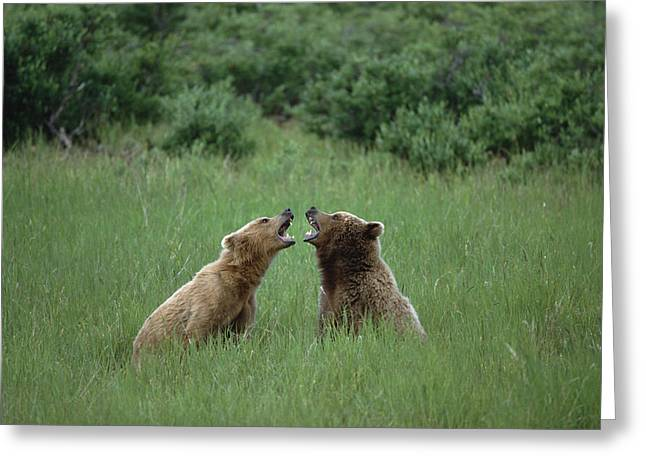 Us Open Photographs Greeting Cards - Grizzly Bears Sparring Katmai Alaska Greeting Card by Konrad Wothe