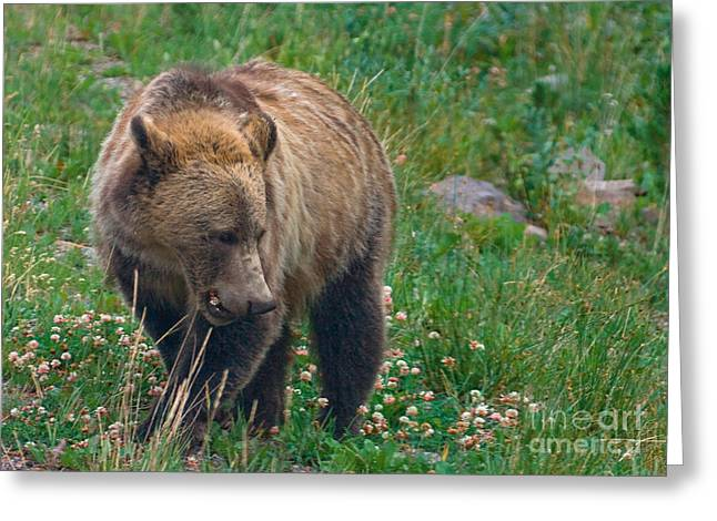 Mary Pyrography Greeting Cards - Grizzly Eating Clover Greeting Card by J L Woody Wooden