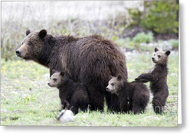 Triplets Greeting Cards - Grizzly Family Portrait Greeting Card by Deby Dixon