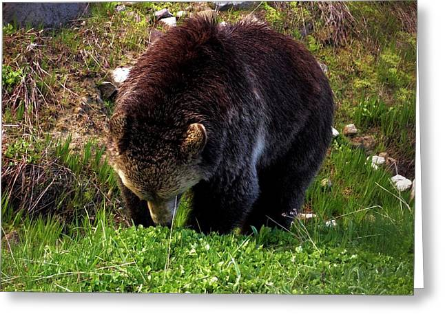 Wyoming Wildlife Greeting Cards - Grizzly Grazing Greeting Card by Dan Sproul
