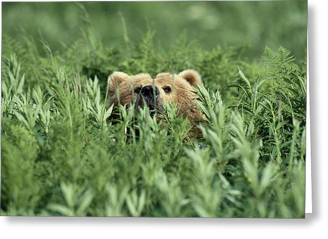 Kodiak Greeting Cards - Grizzly Hidden In Ferns Near Karluk Greeting Card by Tom Bol