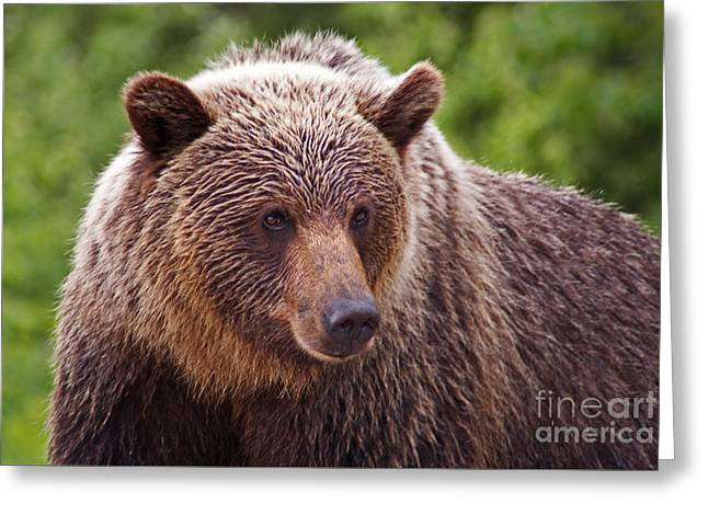British Portraits Greeting Cards - Grizzly Portrait Greeting Card by Stanza Widen