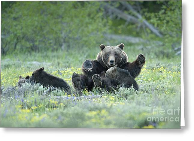 Triplets Greeting Cards - Grizzly Romp - Grand Teton Greeting Card by Sandra Bronstein