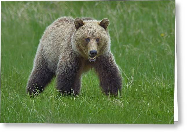 Growl Photographs Greeting Cards - Grizzly Greeting Card by Tony Beck