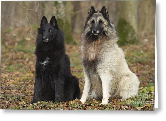 Hairy Dog Greeting Cards - Groenendael Dogs Greeting Card by Jean-Michel Labat
