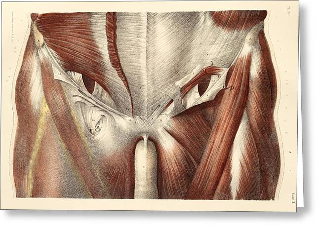 Groin Greeting Cards - Groin muscles, 1831 artwork Greeting Card by Science Photo Library