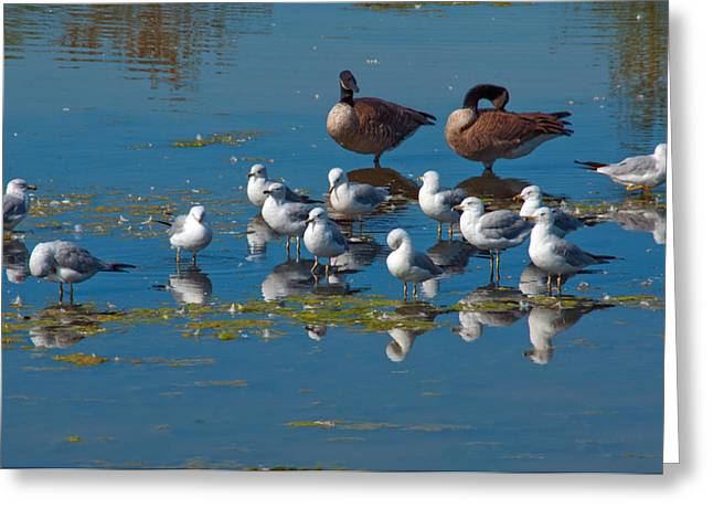 Winter Migrants Greeting Cards - Grooming Party Greeting Card by Eric Rundle