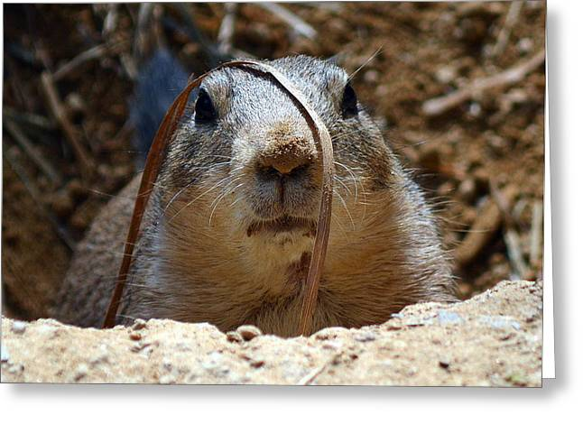 Gerbil Greeting Cards - Ground hog at National Zoo Greeting Card by Mike Finkelstein
