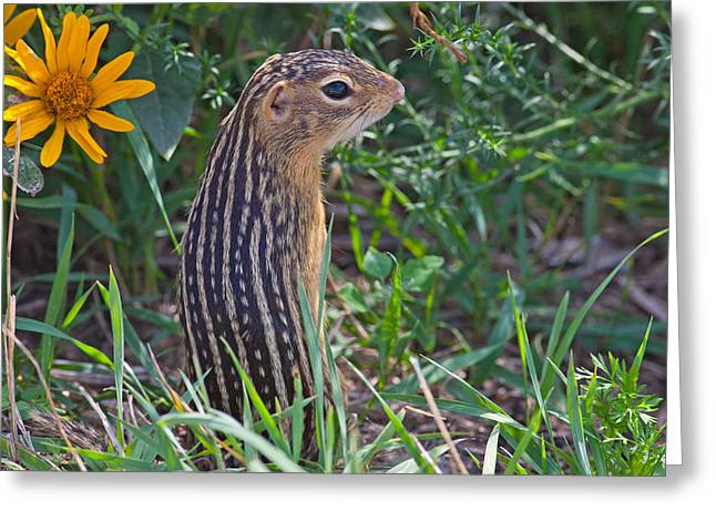 Natural Focal Point Photography Greeting Cards - Ground Squirrel at Horicon Marsh Greeting Card by Natural Focal Point Photography