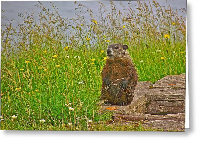 Groundhog Digital Greeting Cards - Groundhog at Point Amour in Labrador Greeting Card by Ruth Hager