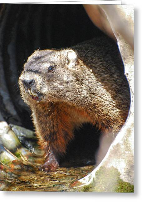 Wildlife Celebration Greeting Cards - Groundhog Greeting Card by Crystal Wightman