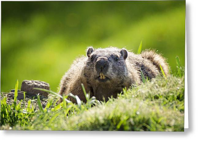 Groundhog Day Greeting Card by Vicki Jauron