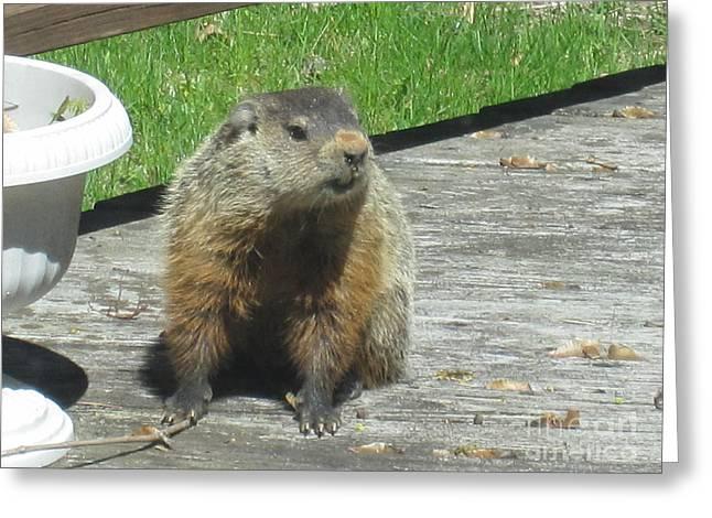 Groundhog Drawings Greeting Cards - Groundhog Holding A Stick Greeting Card by Tara  Shalton