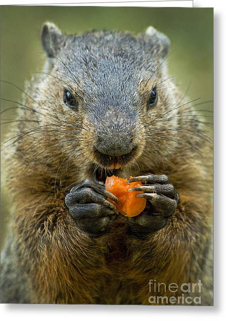 Groundhog Photographs Greeting Cards - Groundhogs favorite snack Greeting Card by Paul W Faust -  Impressions of Light