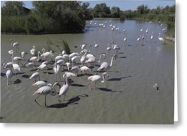 Roze Greeting Cards - Group Flamingos in a lake in France Greeting Card by Ronald Jansen