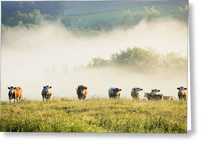 Full-length Portrait Greeting Cards - Group Of Cows In The Fog Chesterville Greeting Card by Yves Marcoux