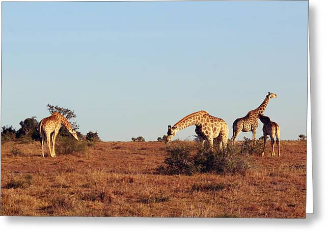 Whittle Greeting Cards - Group of Giraffes Greeting Card by Chris Whittle