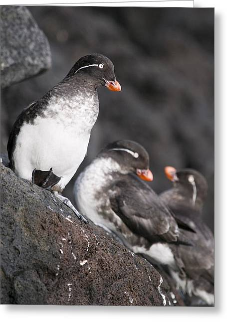 Group Of Parakeet Auklets, St. Paul Greeting Card by John Gibbens