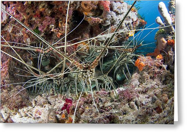 Group Of Spiny Lobster Greeting Card by Science Photo Library