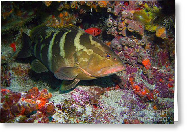 Manatee Springs Greeting Cards - Grouper Greeting Card by Jimmy Nelson