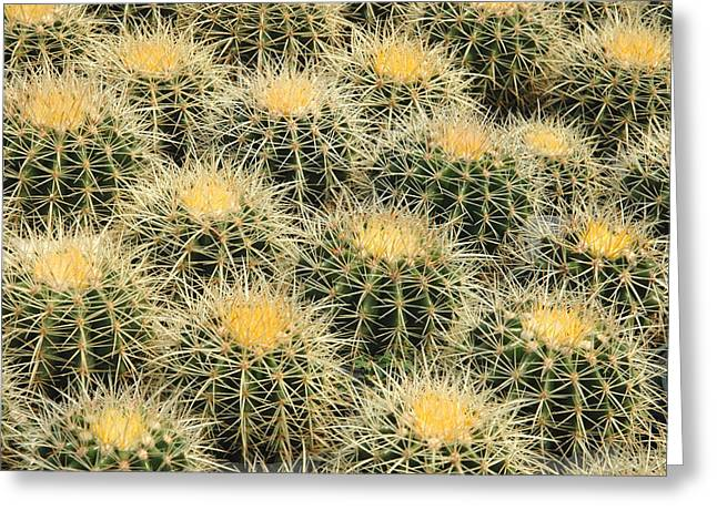 Desert Greeting Cards - Grouping of Echinocactus grusonii or Golden Barrel Cactus Greeting Card by Rob Huntley