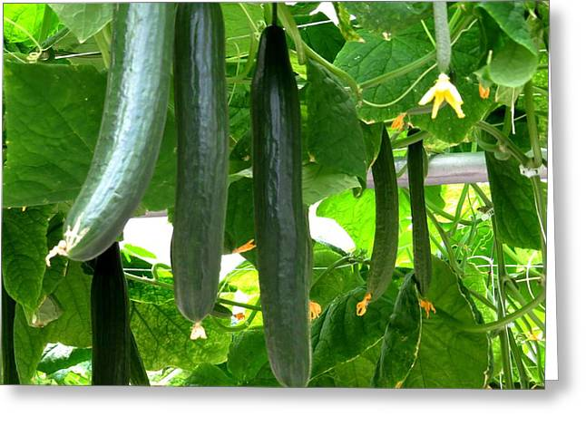Growing Cucumbers Greeting Card by Zina Stromberg