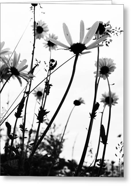 White Daises Greeting Cards - Growing drips  Greeting Card by Jerry Cordeiro