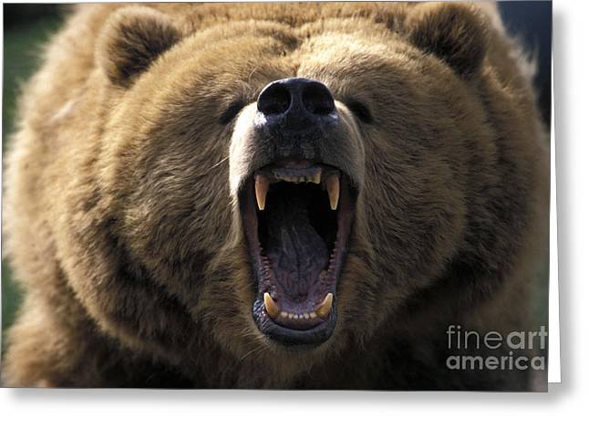 Growling Photographs Greeting Cards - Growling Grizzly Bear Greeting Card by Mark Newman