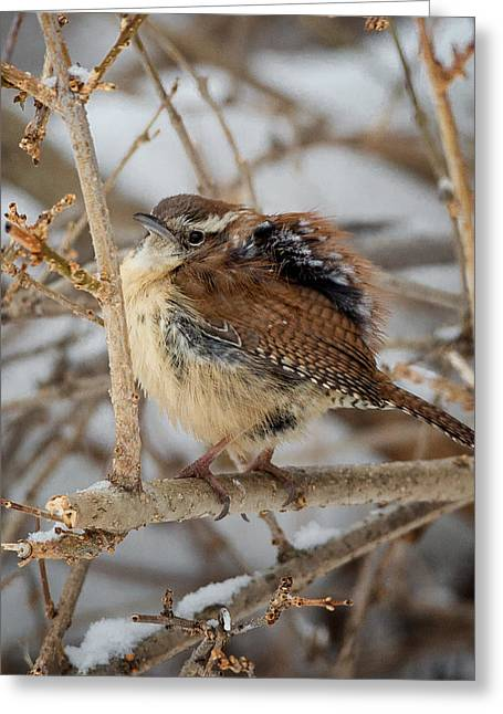 Wren Greeting Cards - Grumpy Bird Greeting Card by Bill  Wakeley