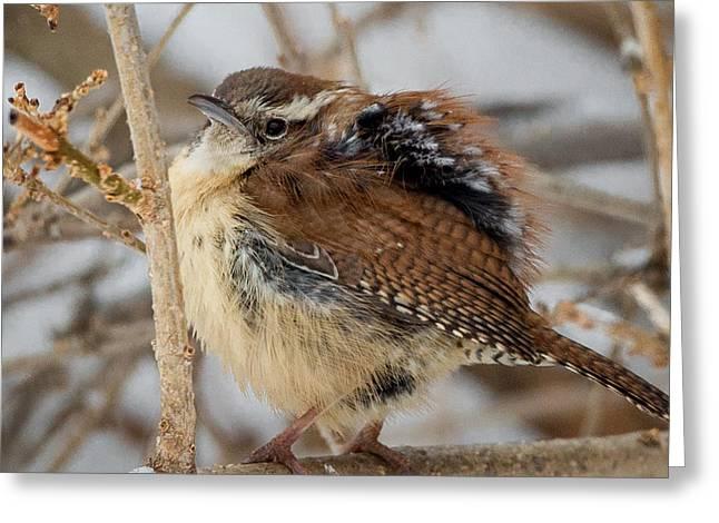 Carolina Wren Greeting Cards - Grumpy Bird Square Greeting Card by Bill  Wakeley