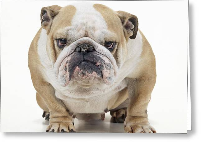 Canid Greeting Cards - Grumpy Bulldog Greeting Card by John Daniels