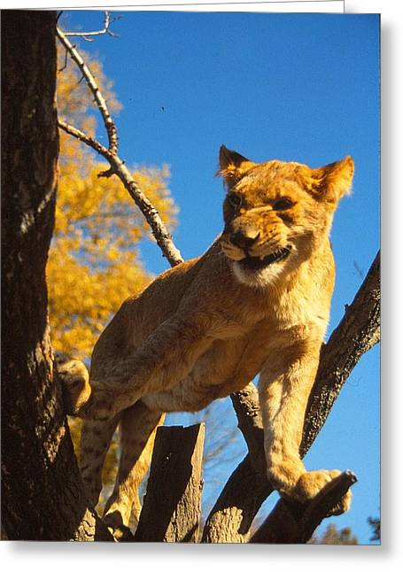 Growling Greeting Cards - Grumpy Lion Greeting Card by Crystal Baer