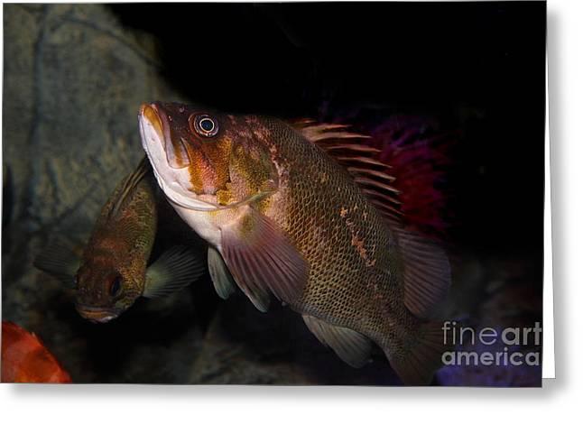 Aquarium Fish Greeting Cards - Gruper Fish 5D24129 Greeting Card by Wingsdomain Art and Photography
