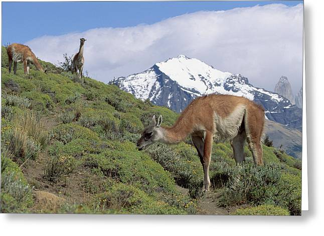 Grazing Snow Greeting Cards - Guanaco Herd Grazing Patagonia Argentina Greeting Card by Konrad Wothe