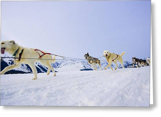 Husky Greeting Cards - Guided Dog Mushing Tour In Moose Greeting Card by Michael DeYoung