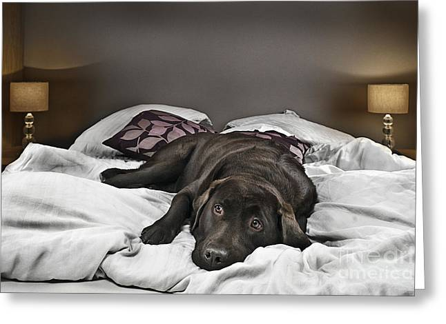 Domestic Scene Greeting Cards - Guilty Dog on Bed Greeting Card by Justin Paget