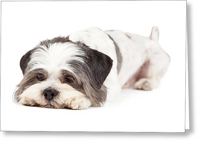 Full-length Portrait Photographs Greeting Cards - Guilty Looking Lhasa Apso Dog Laying Greeting Card by Susan  Schmitz