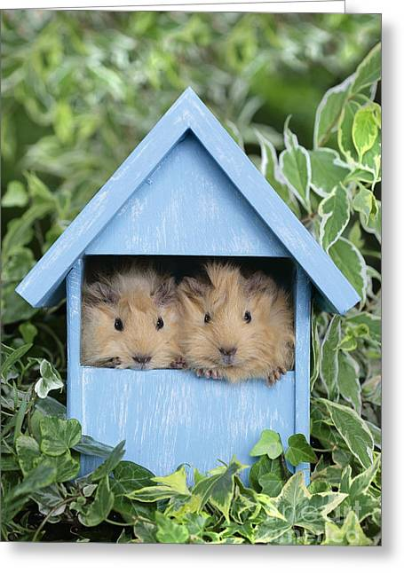 Sheds Greeting Cards - Guinea Pig in House GP104 Greeting Card by Greg Cuddiford