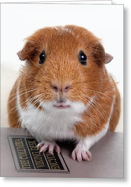 Pig Photos Greeting Cards - Guinea Pig Talent Greeting Card by Susan Stone