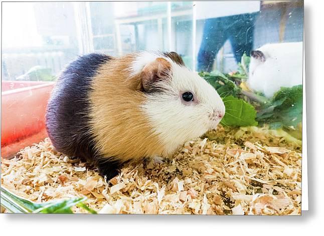 Guinea Pig Greeting Card by Wladimir Bulgar