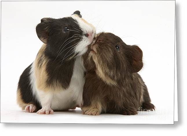 House Pet Greeting Cards - Guinea Pigs Kissing Greeting Card by Mark Taylor