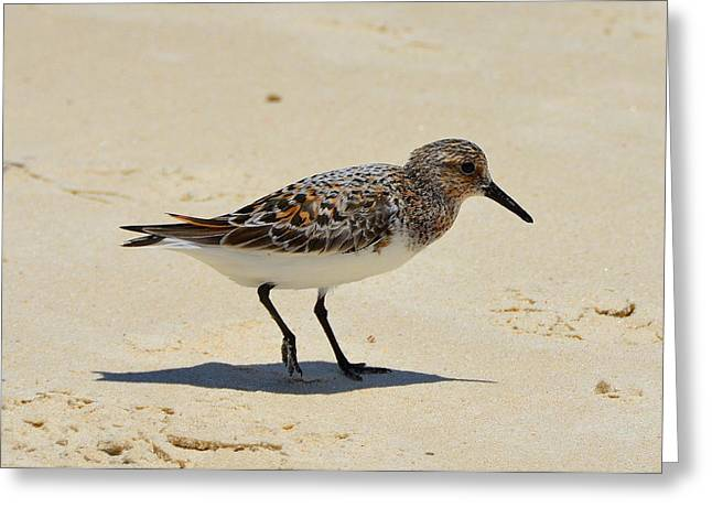 Sand Patterns Greeting Cards - Gulf Coast Ruddy Turnstone Greeting Card by Carla Parris