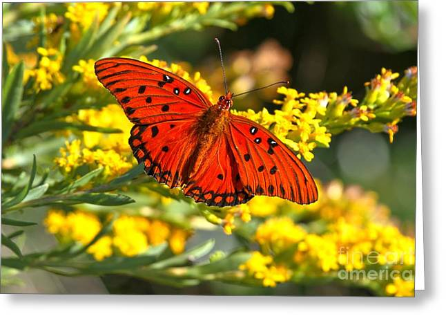 Buterfly Greeting Cards - Gulf Fritillary Greeting Card by Adam Jewell