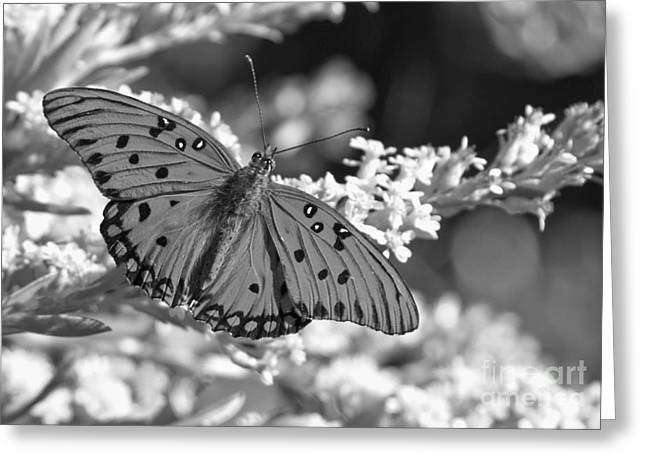 Buterfly Greeting Cards - Gulf Fritillary Black And White Greeting Card by Adam Jewell