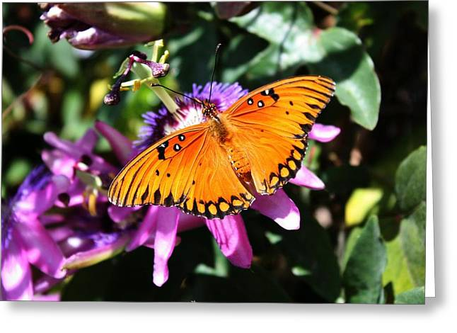 Gulf Fritillary Or Passion Butterfly Greeting Card by Ange Sylvestri
