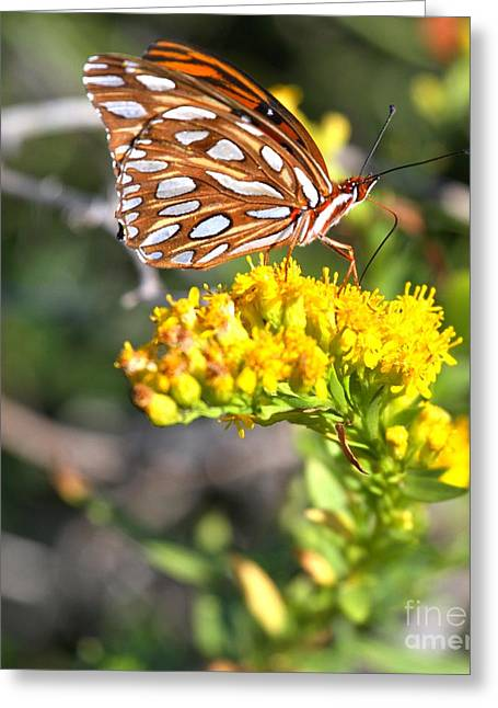 Buterfly Greeting Cards - Gulf Fritillary Portrait Greeting Card by Adam Jewell