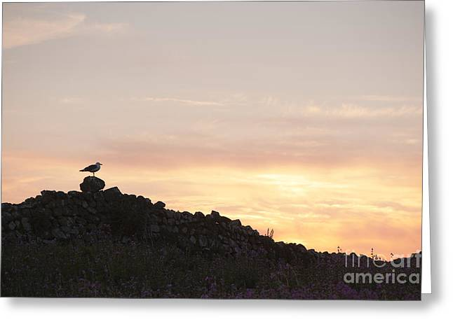 Seabirds Greeting Cards - Gull at Dusk Greeting Card by Anne Gilbert